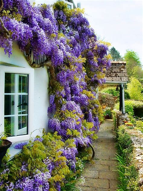 wisteria is a very colorful vine and fast growing it is