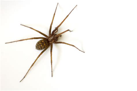 common house spiders common house spider pest control facts information pest control com