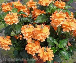 Garden Of Florist Venice Fl Crossandra Infundibuliformis Orange Marmalade Sun
