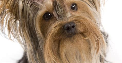 yorkie breeds types yorkie types types of yorkie breeds ehow uk