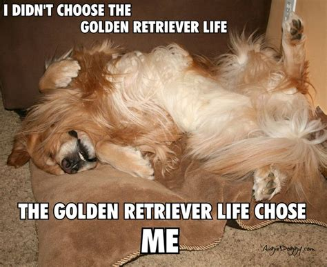 lifespan of golden retriever the golden retriever dogs are a s best friend