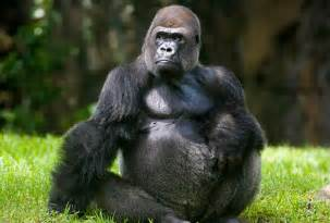 gorilla brazilian book worm guest post gorillas and such by