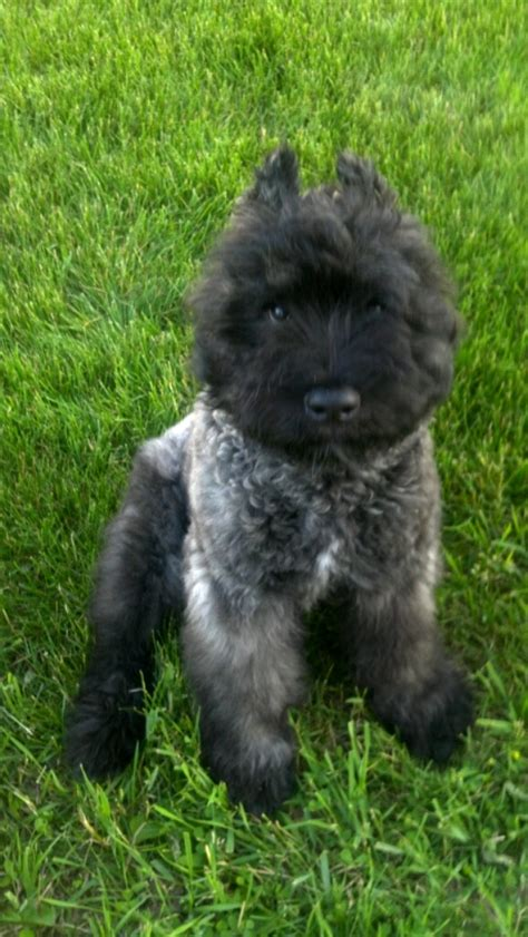 bouvier des flandres puppies needing a home 87 best images about i my goofie bouvee on best dogs and doggies