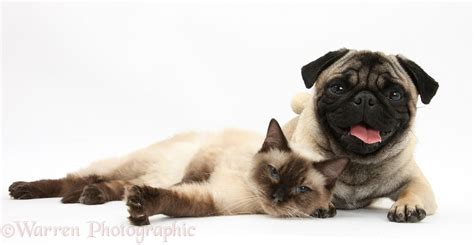 pug and cat pets fawn pug and birman cross cat photo wp29288