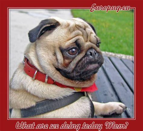 are pugs smart pug smart gifts for pug