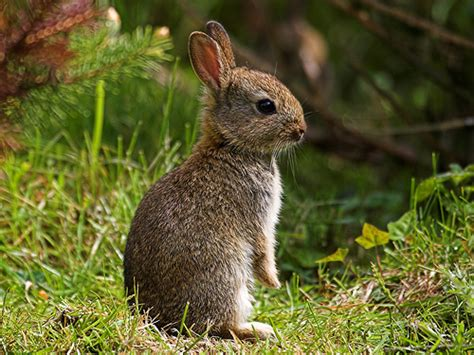 Rabbit L all about animal wildlife rabbit information and