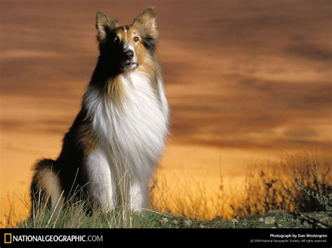 lassie puppies dogs images lassie hd wallpaper and background photos 2520258