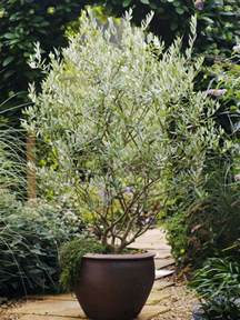 patio tree care best 25 trees in pots ideas on potted trees