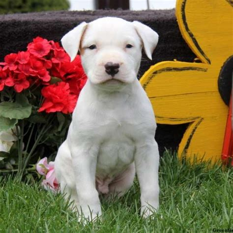 american bulldog puppies price american bulldog puppies for sale greenfield puppies