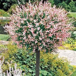 Flamingo Willow Patio Tree by Willow Tree Dappled Growing In My Yard Pinterest