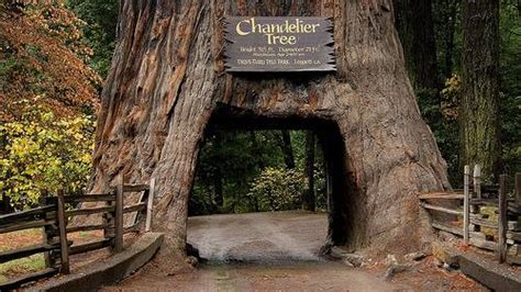 Chandelier Tree In The Drive Thru Tree Park Attractions Deciduous Forest Bio