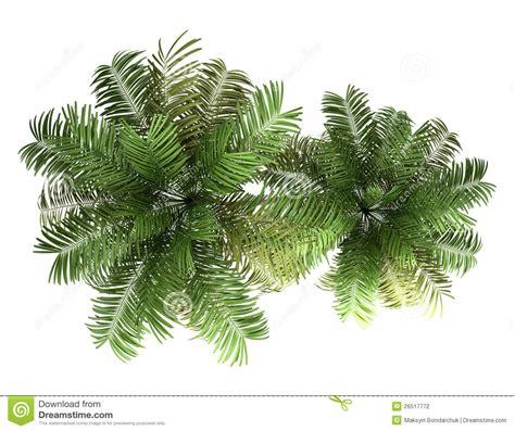 Best White Tree - top view of two areca palm trees isolated on white stock