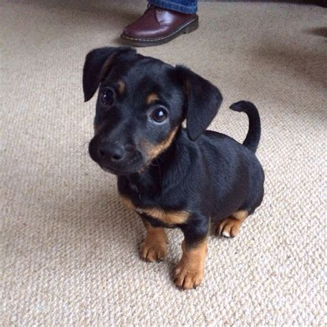 15 awesome dachshund mixes you won t believe are real