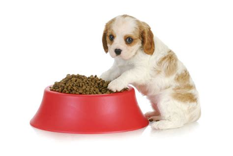 how to wean puppies to solid food weaning puppies learn how and when to wean