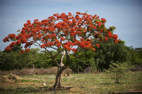 growing  royal poinciana