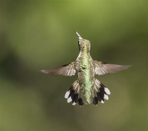 ruby throated hummingbird roads end naturalist