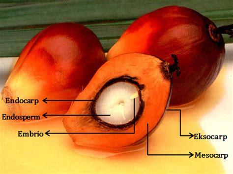 Biji Kelapa Hitam Unik Energi morfologi buah kelapa sawit tanimedia