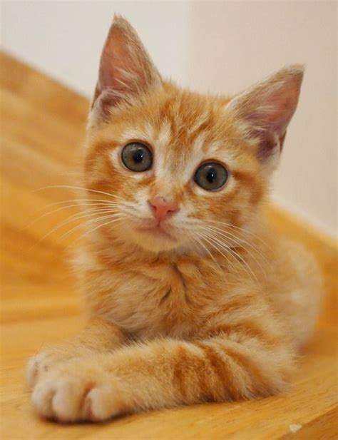 gets kitten 17 best ideas about orange tabby kittens on kitten baby orange
