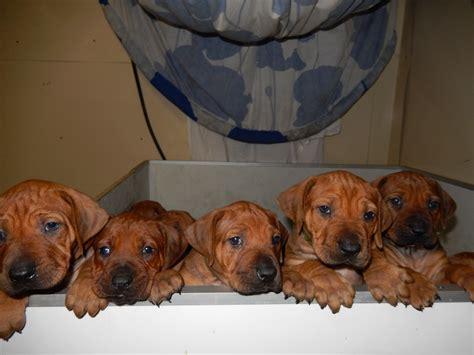puppies at 5 weeks new litter jarracada kassandra and ch janusz der burg litermont jarracada