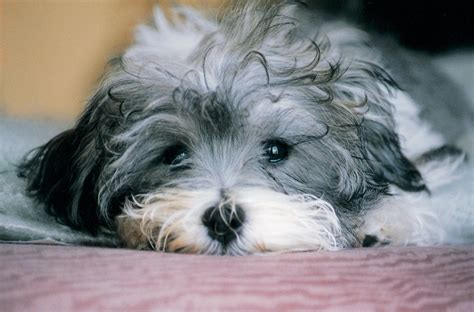 dogs havanese sad havanese photo and wallpaper beautiful sad havanese pictures