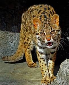 iriomote cat felidae beautiful posts and
