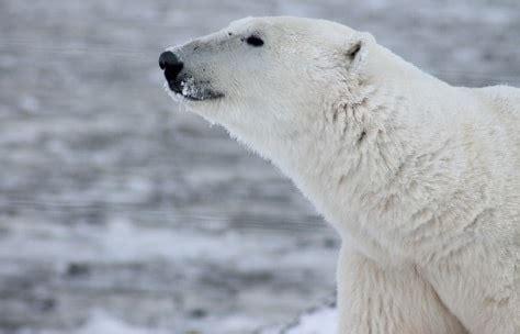 Polar Extinction Essay by Polar Bears Threatened With Extinction