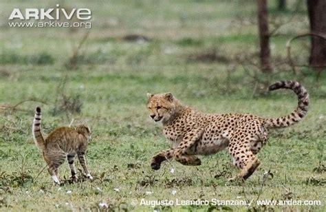 Inidia Cat 33 gato selvagem vs marta pescadora