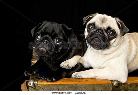 black and fawn pug fawn pug stock photos fawn pug stock images alamy