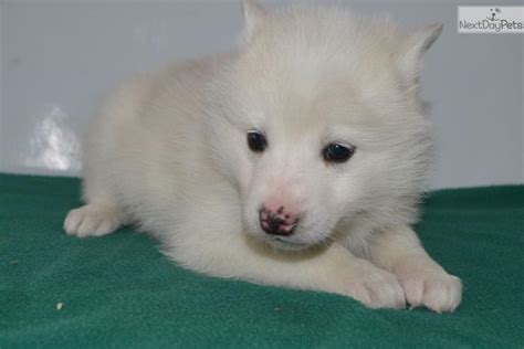huskimo puppies for sale meet huskimo 4 a mixed other puppy for sale for 500 huskimo 4