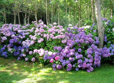 Quand Planter Les Hortensias by Entretenir Un Hortensia Or 233 Ane