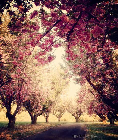 5 cherry tree grove cherry blossom tree grove photography print pink