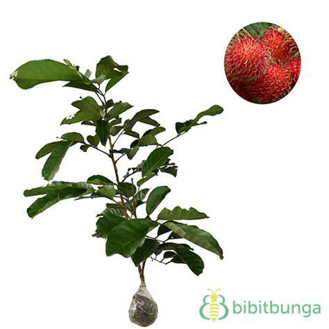 Bibit Buah Rambutan harga tanaman buah dalam pot non tabulot lengkap