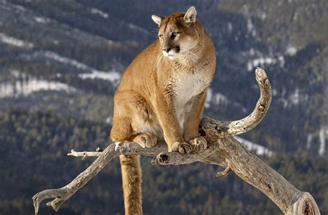 reset nvram mountain lion mountain lion clear creek county colorado