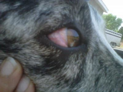 puppy swollen dogs white part of eye breeds picture