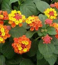 fiori arancioni nomi chatham nurseries