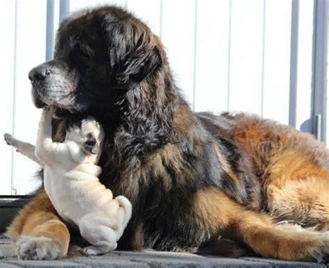 pug rescue bc pr0gramm