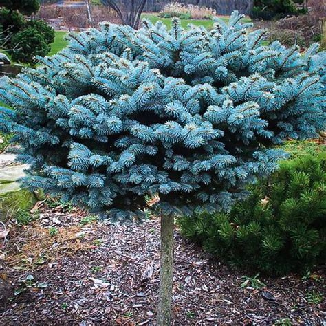 Sale Trees Blue globe blue spruce tree for sale the tree center
