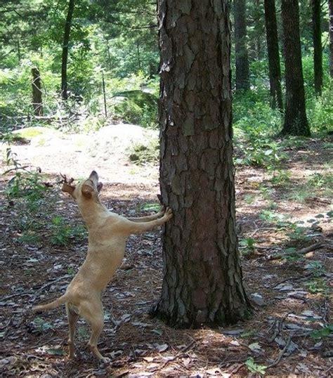 bench legged feist galla feist squirrel dog hunting photo gallery paladin
