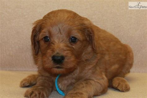 goldendoodle puppy pittsburgh goldendoodle puppy for sale near pittsburgh pennsylvania