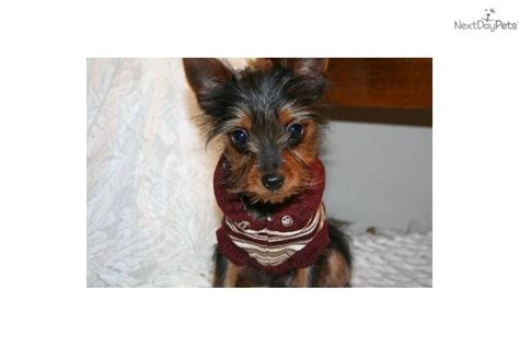 legged yorkie adopt scooter a terrier yorkie puppy for adopted legged