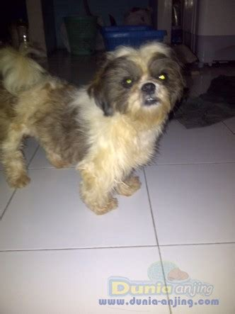 Jual Kandang Pagar Anjing Surabaya dunia anjing jual anjing shih tzu shitzhu jantan