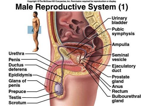 reproductive system and diagram reproductive system diagram labeled www pixshark