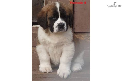 akc bernard puppies for sale akc st bernard puppies for sale breeds picture