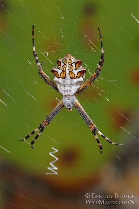 Garden Spider Argiope Silver Garden Spider Argiope Argentata Pictures