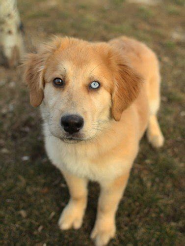golden retriever mixed breeds mixed breed spotlight golden retriever husky mix featured creature