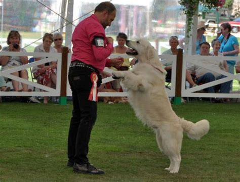 golden retriever club vic golden retriever club centenary photo