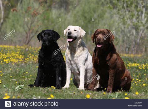 labrador colors labrador retriever three adults different colors
