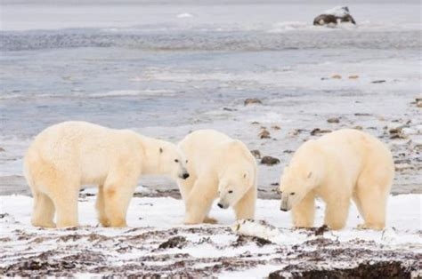 day time buggy and polar picture of churchill manitoba tripadvisor