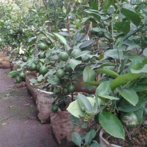 Jual Bibit Jeruk Nipis Sudah Berbuah jual bibit unggul tanaman jeruk nipis jumbo bibit