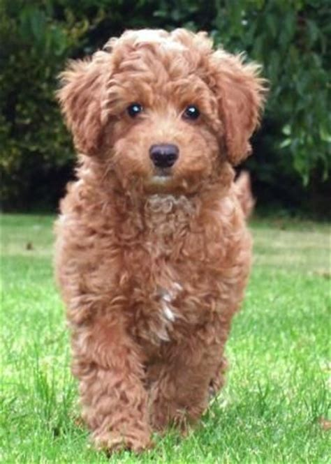 mini goldendoodle tucson best 25 miniature labradoodle for sale ideas on